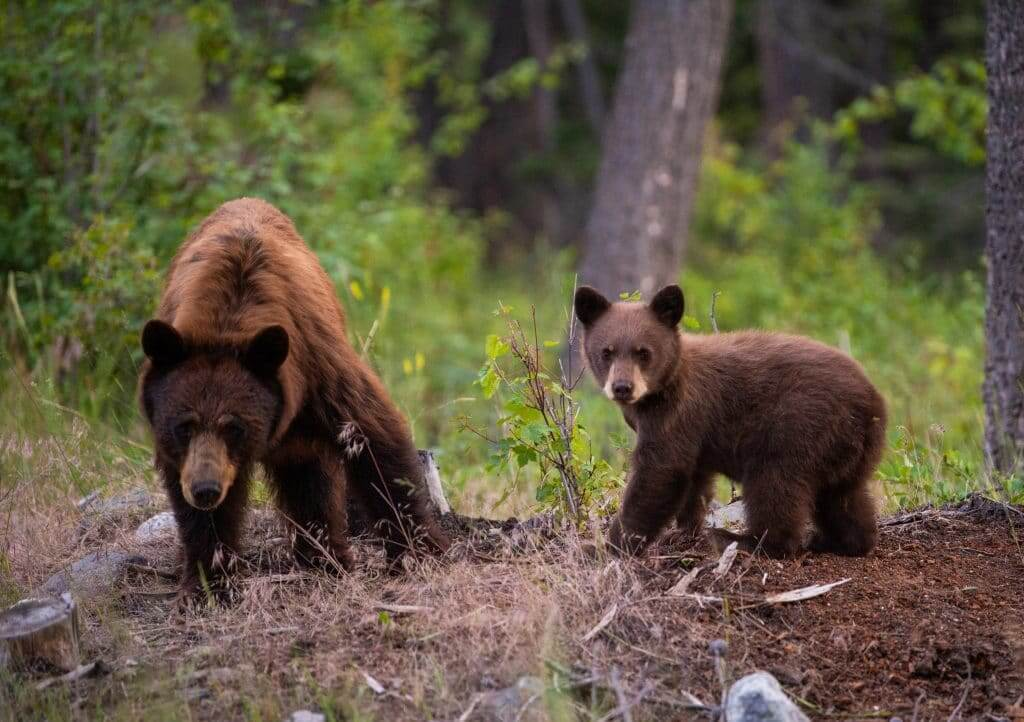 live camera stream of a mama bear and her baby cub in the woods near a stream